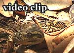 DivX Video: Carpet Python - Teppichpython