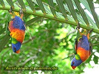 Allfarbloris - Rainbow lorikeets, Queensland